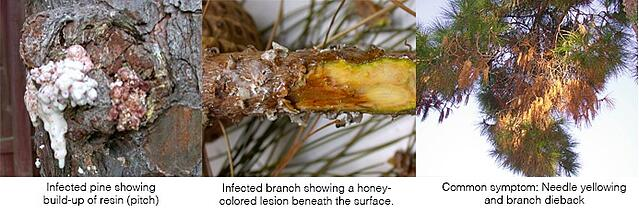pine-pitch-canker