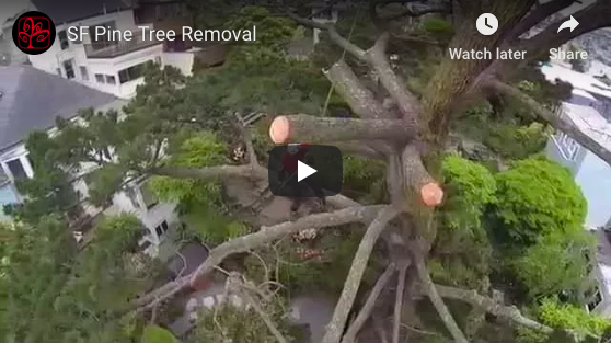 video thumbnail pine removal